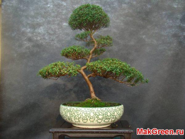 деревце в горшке