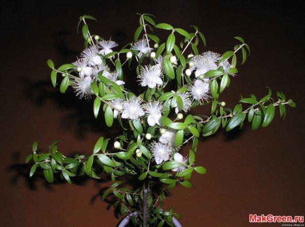 цветочки мирта