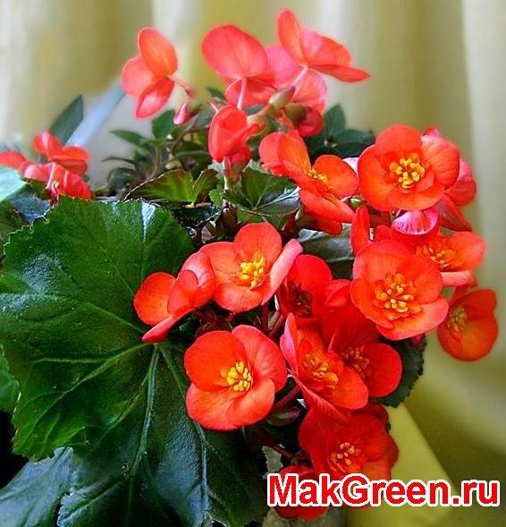рыжие цветы