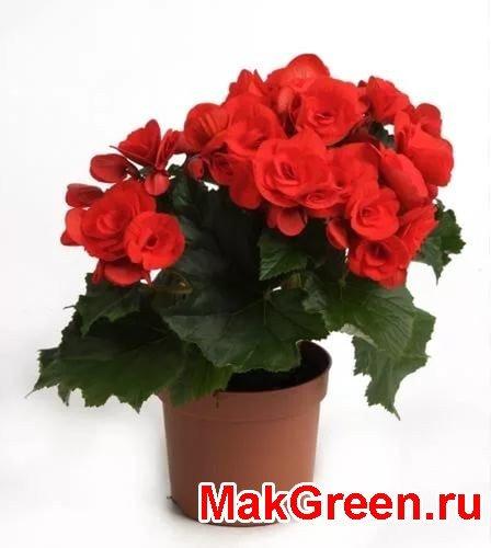 красные цветы бегонии