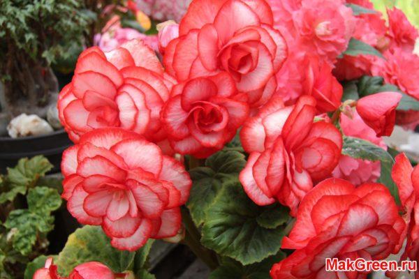 Бегония цветы розового цвета
