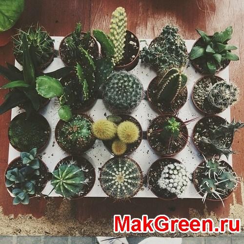 пересадка и полив кактусов