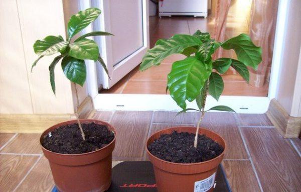 два вида растения