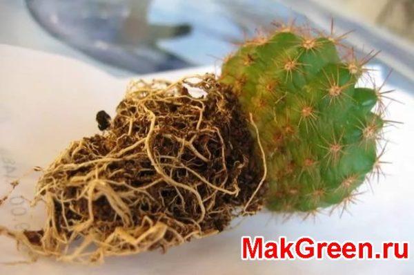 корни кактуса