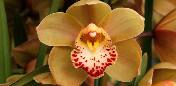 цветение цимбидиума