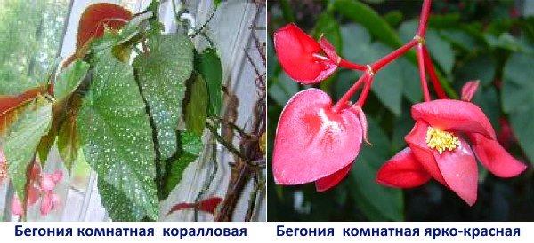 Цветок бегония: как за ним ухаживать, размножение, почему не цветет, виды и их особенности
