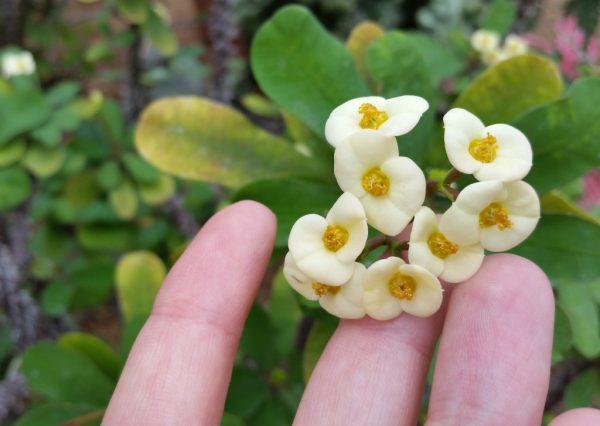 Цветки эуфорбии обычно невзрачные.