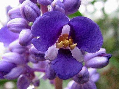 замиокулькас цветок