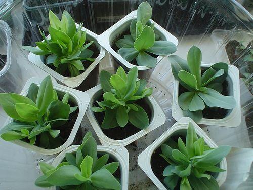 пикитирование растения