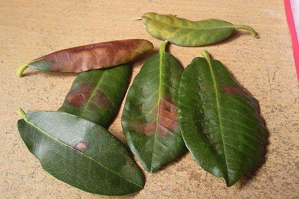 чернеющие листья