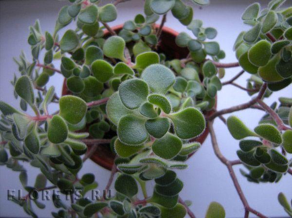 Аихризон домашний, дерево любви - уход, цветение, размножение, описание