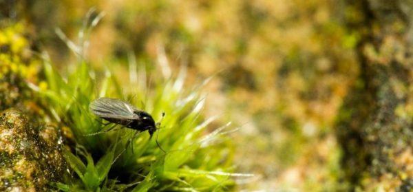 Чем опасны мошки на цветах и как с ними бороться