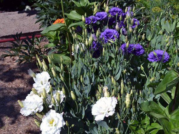 синие и белые цветочки