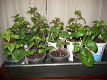 фуксия размножение листьями