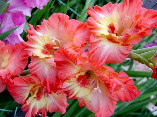 цветки шпажника