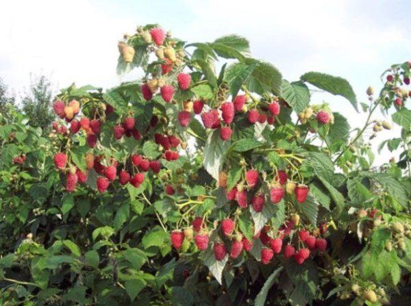 малиновое дерево