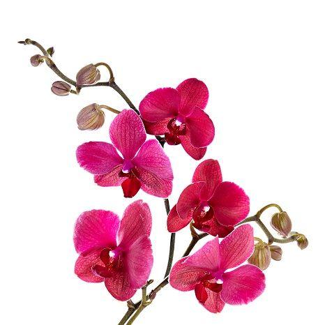 орхидея цветущая
