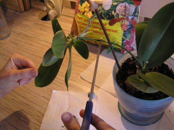 Как размножается орхидею в домашних условиях фото