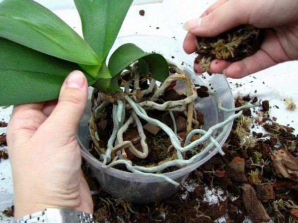 Как пересадить орхидею цимбидиум в домашних условиях
