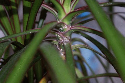 орхидея погибает