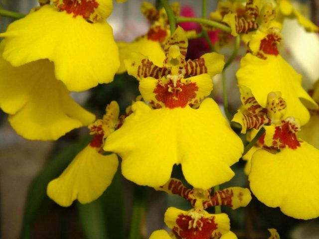 Aloha Iwanaga