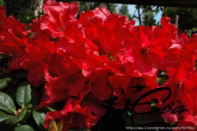 рододендрон красные цветы