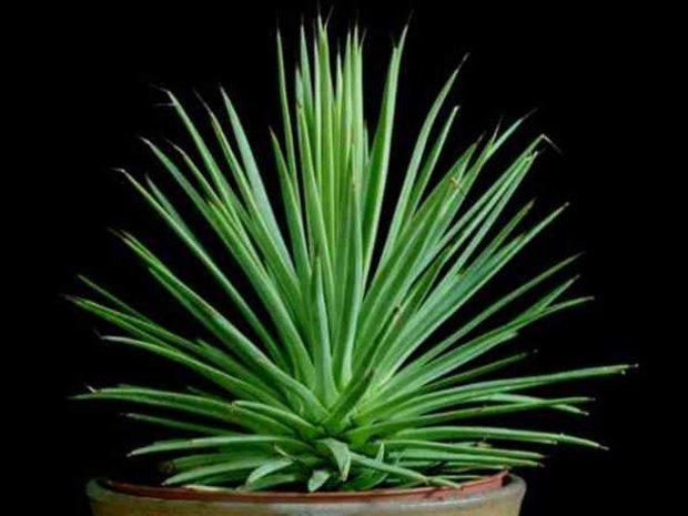 Растение Агава - выращивание в домашних условиях с фотоинструкцией