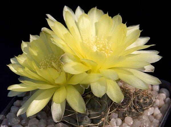 Гимнокалициум Многоцветковый
