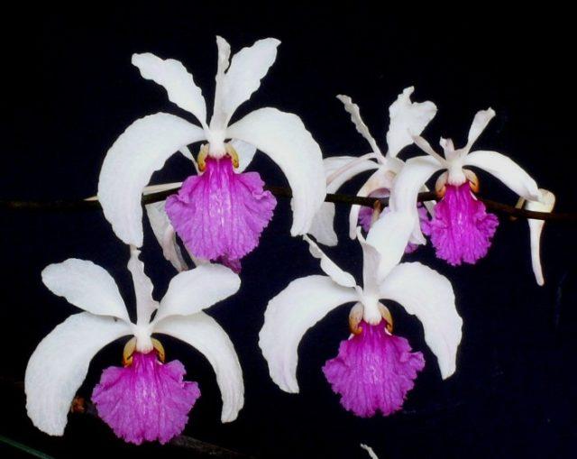 Holcoglossum kirnballianum