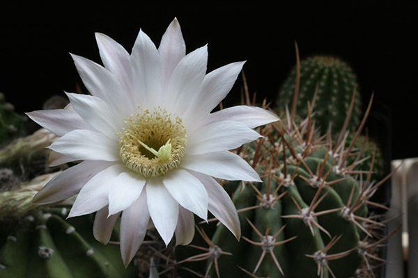 Эхинопсис белоцветковый