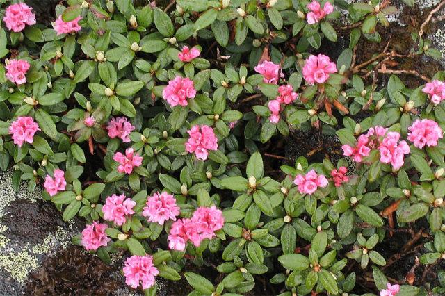 цветы рододендрон адамса