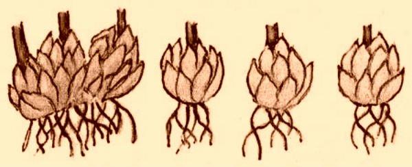 Вегетативное размножение лилии