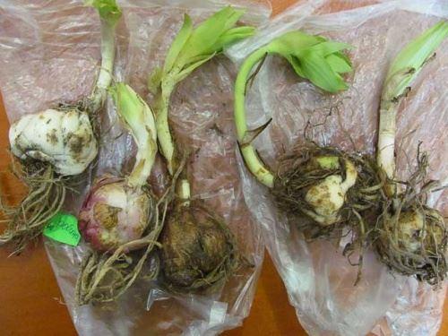 луковицы с ростками