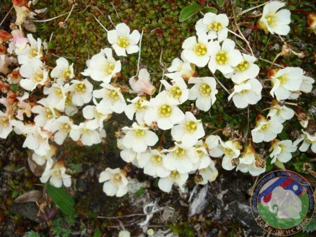 рододендрон адамса белый