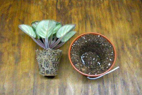 пересаживание растения