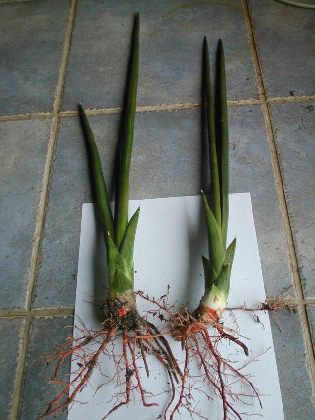 корень сансевиерии