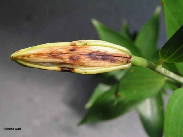 Ботритис лилии
