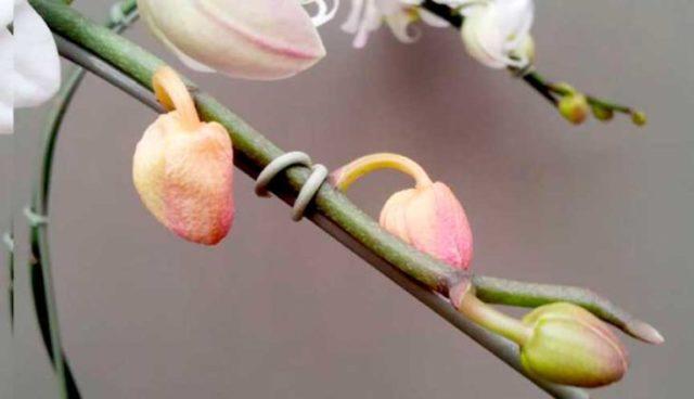орхидея бутоны