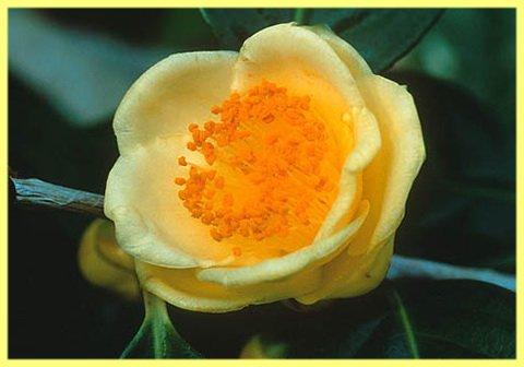 Камелия золотистоцветковая