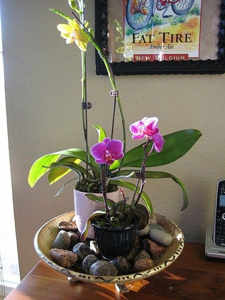 орхидея в доме