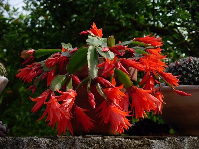 пасхальный кактус