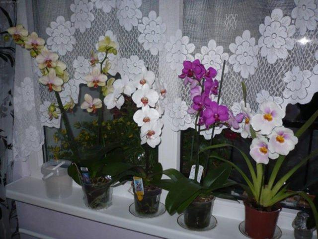 орхидея дома