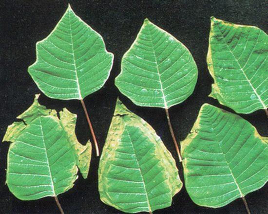 листья засыхают