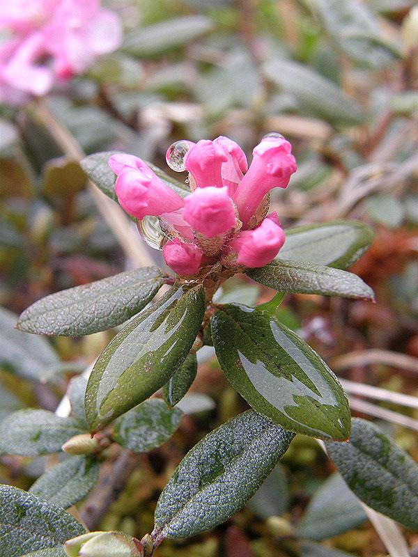 рододендрон адамса цветение