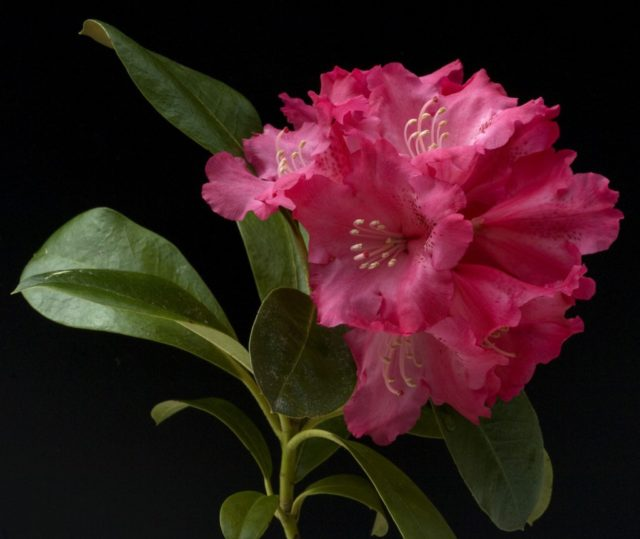 рододендрон адамса цветок