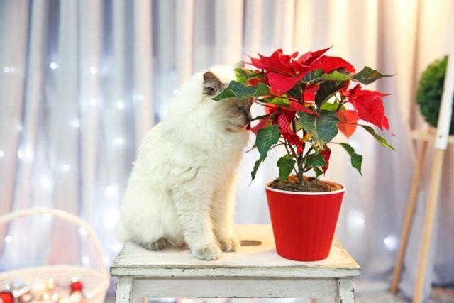 пуантесия и кот