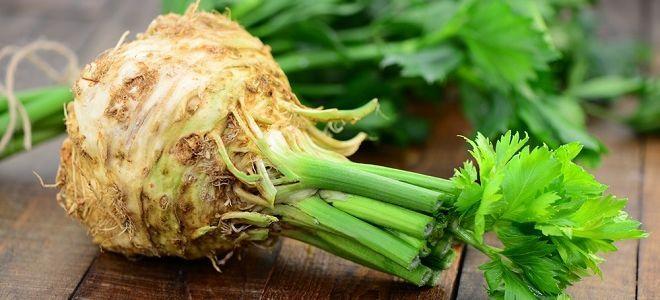 Сельдерей черешковый выращивание и уход. Сельдерей черешковый — выращивание из семян