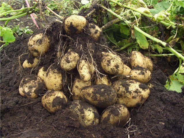 Уборка картофеля Адретта