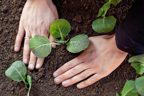 Особенности капусты Валентина технология выращивания