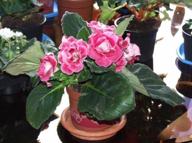Глоксиния розовая
